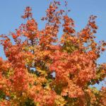 Goldener Oktober - gelbes Laub vor blauem Himmel